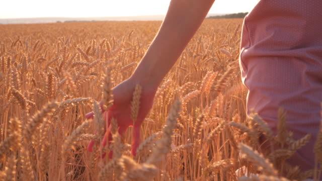 Female hand touching golden wheat ear in field, sunset light video