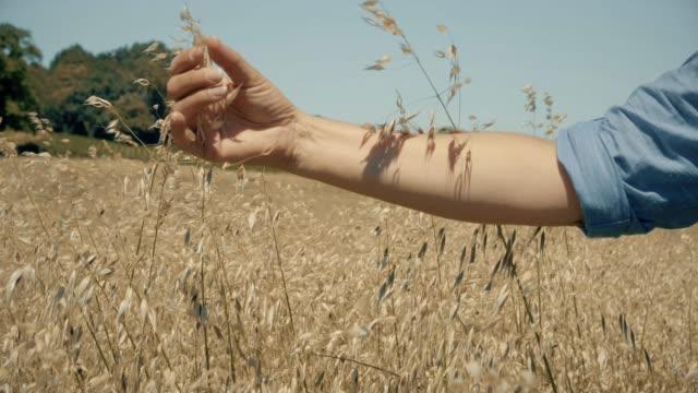 Female hand touching oats in a field. SM