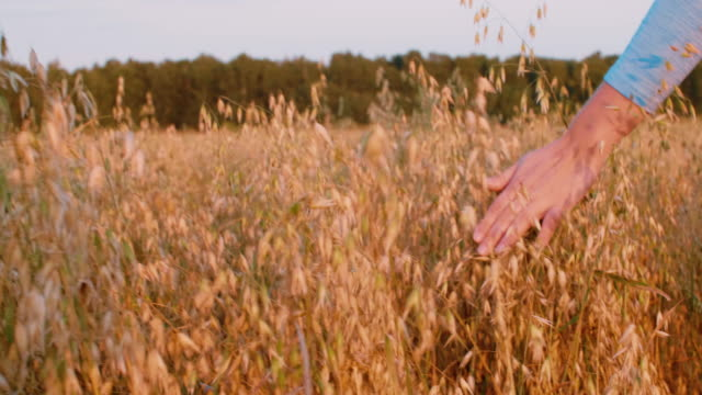 vídeos de stock e filmes b-roll de female hand touching wheat ears in autumn field, closeup - oats