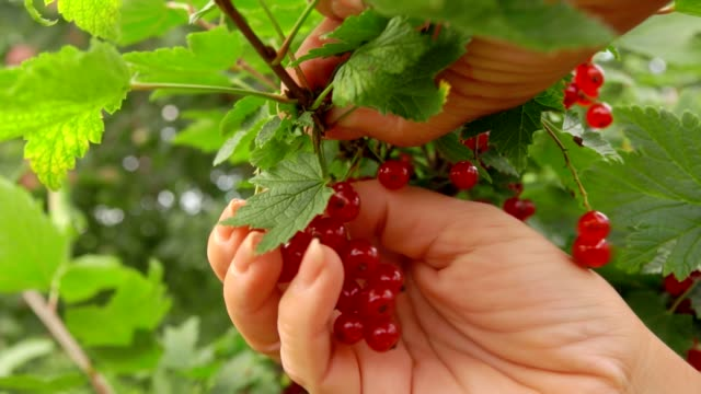 female hands are picking red currants from the green bush - ribes rosso video stock e b–roll