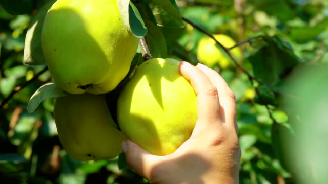female hands are taking ripe juicy pears from the branch in the orchard - orticoltura video stock e b–roll