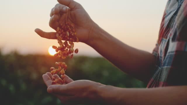 vídeos de stock e filmes b-roll de slo mo female hands cupping maize kernels - corn