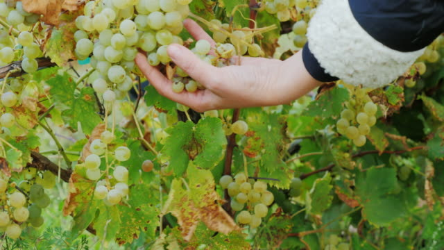 Female hands cut grapes. Ripe white grapes in the vineyard around Lake Ontario video