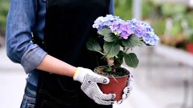 weibliche hände halten hortensie - hortensie stock-videos und b-roll-filmmaterial
