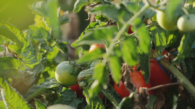 female hands pick ripe red tomatoes from a bush - pomodoro video stock e b–roll
