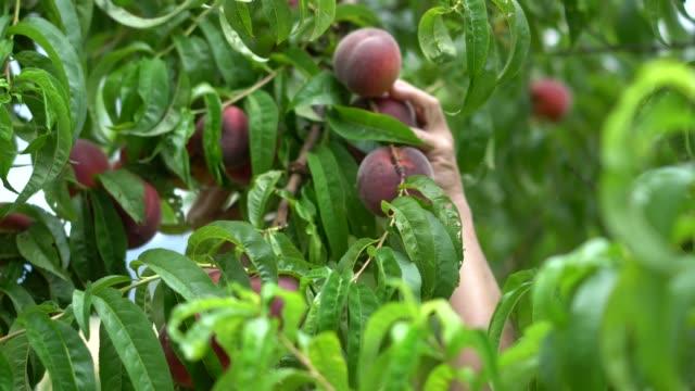 female hands picking peach - brzoskwinia drzewo owocowe filmów i materiałów b-roll