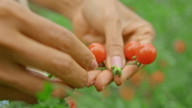 female hands picking ripe fruit from the cherry tomato plant - pomodoro video stock e b–roll