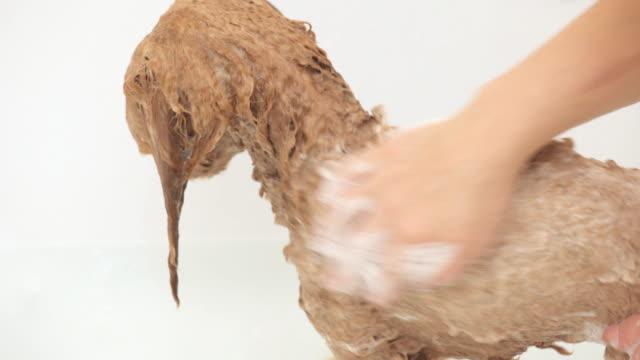 vidéos et rushes de mains de femmes laver le chien. - soins capillaires