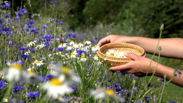 female herbalist hands pick daisy flowers between cornflower in field. FullHD video