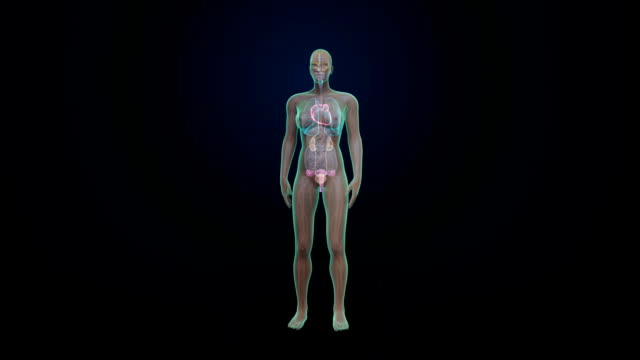 Female Human the internal organs, heart system. Rotating Female Human the internal organs, heart system, Blue X-ray light. heart internal organ stock videos & royalty-free footage