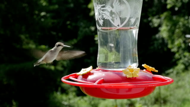 Female Humming Bird Hovers in Slow Motion by a Hummingbird Feeder A female Ruby Throated hummingbird hovers in slowmotion by a backyard humming bird feeder. As she attempts to land and drink nectar from the bird feeder a rival hummingbird chases the tiny avian bird away from her territory. The shot depicts the strong competition of the natural world and the rivalry of little birds. feeding stock videos & royalty-free footage