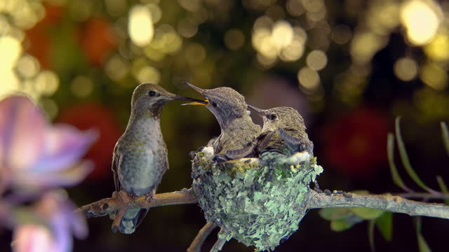 Female hummingbird feeding hungry babies from different positions and hovering around video