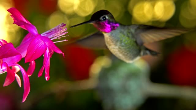 Female hummingbird takeoff from nest and chase male away from a pink flower video