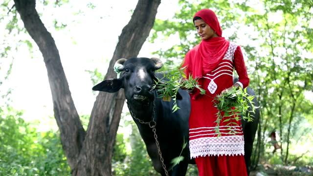 Female Indian farmer feeding grass to her buffalo - video