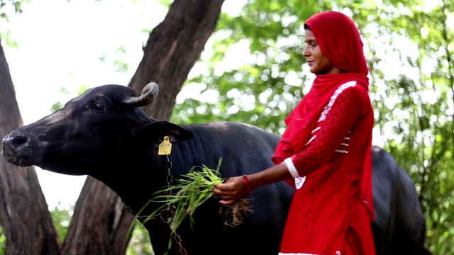 Female Indian farmer with her buffalo - video