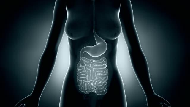 Female intestine animation video