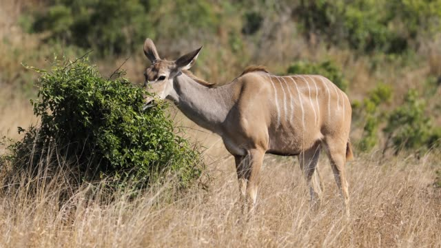 female kudu antelope feeding on a bush, kruger national park, south africa - animale femmina video stock e b–roll