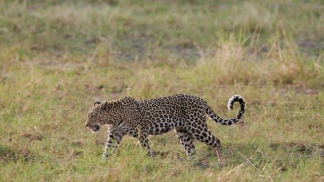 en kvinnlig leopard promenader genom bushen, botswana - leopard bildbanksvideor och videomaterial från bakom kulisserna