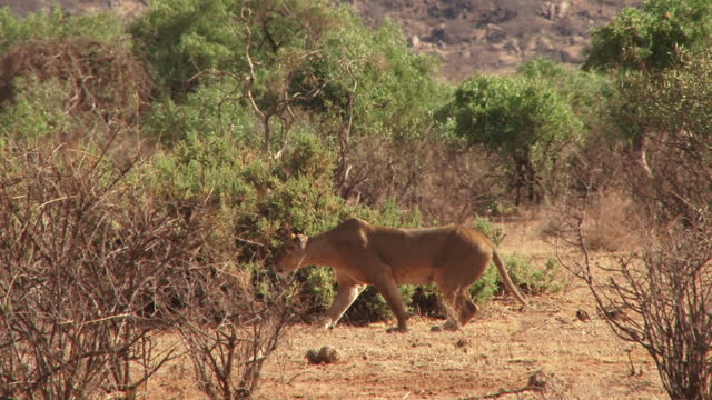 A female lion carefully stalking during a hunting move