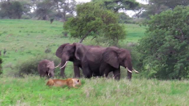 kvinnliga lion jakt - single pampas grass bildbanksvideor och videomaterial från bakom kulisserna