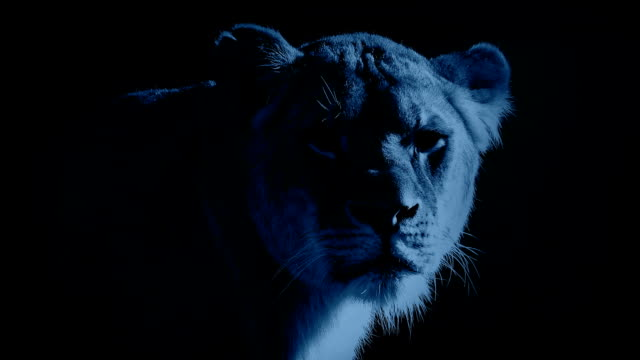 Female Lion In The Moonlight video