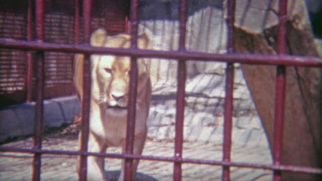 vídeos de stock e filmes b-roll de 1973: female lion locked in tiny zoo cage. - animal cativo