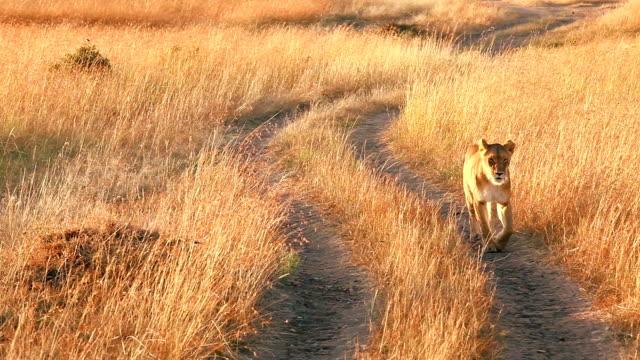 León n de Masai Mara hembra - vídeo