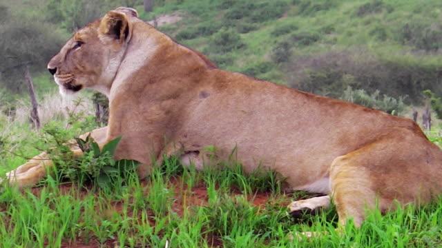 kvinnliga lejon sitter - single pampas grass bildbanksvideor och videomaterial från bakom kulisserna