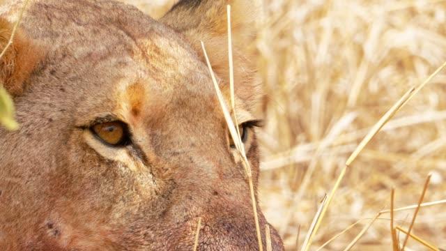 stockvideo's en b-roll-footage met vrouwelijke lions verse doden - leeuwin