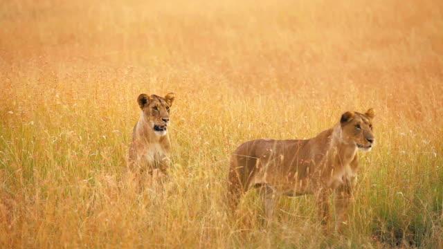stockvideo's en b-roll-footage met female lions in masai mara - leeuwin