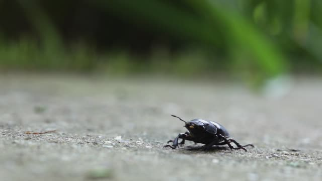 female longhorn beetle walking, close-up - жук стоковые видео и кадры b-roll