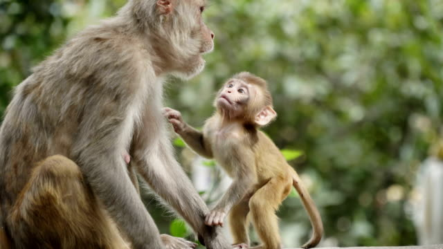 Female monkey with cub video