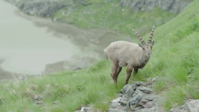 Female mountain goat grazing (Ibex) - in the background is a mountain lake