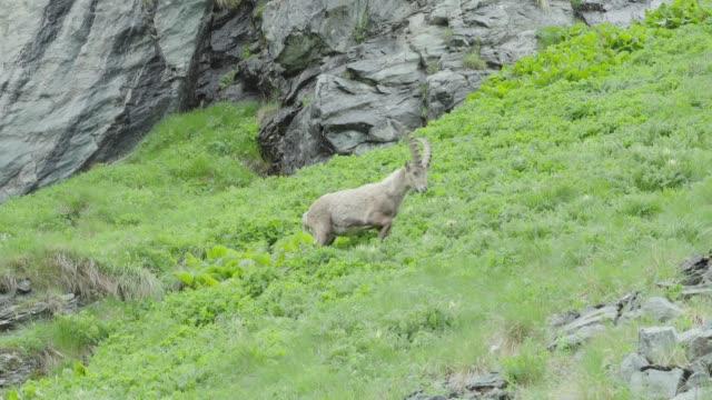 Female mountain goat walking in the mountains (Ibex)