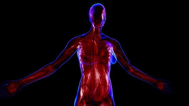 Female Muscular system video