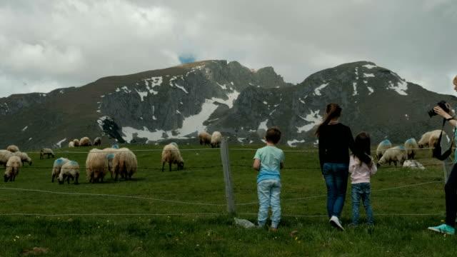 Female photographer photographs sheeps on cattle-breeding farm in summer video