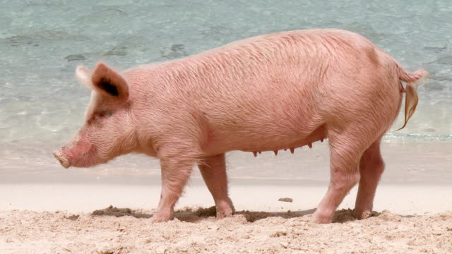 Female Pig on a Beach video