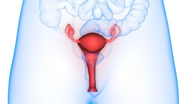 kadın üreme sistemi anatomi animasyon konsepti - rahim boynu stok videoları ve detay görüntü çekimi