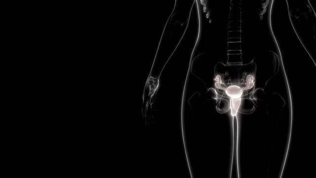 kadın üreme sistemi anatomi animasyon - rahim boynu stok videoları ve detay görüntü çekimi