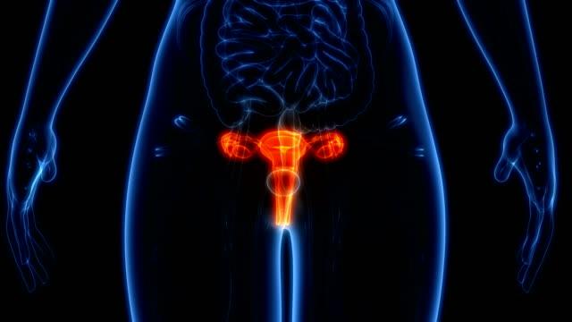 kadın üreme sistemi anatomisi - üreme organı stok videoları ve detay görüntü çekimi
