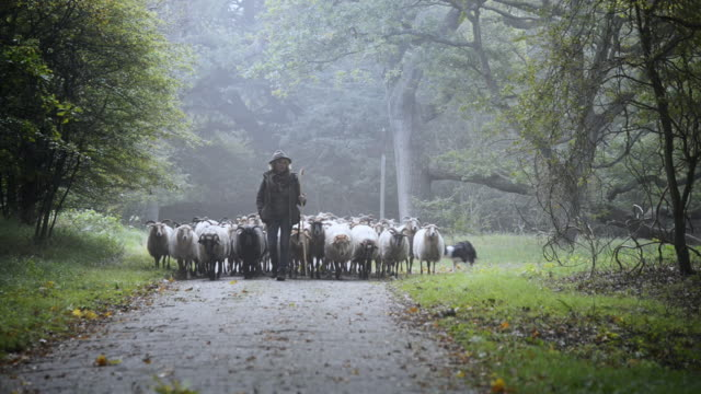 Female Shepherd and flock of sheep at a foggy sunrise in the woods - video