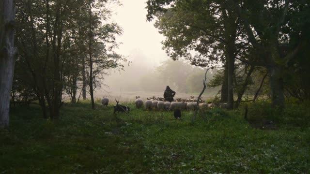 vidéos et rushes de berger féminin et troupeau de moutons à un lever de soleil brumeux dans les bois - mouton