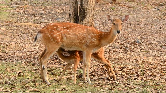 female sika deer with their fawn - benekli geyik stok videoları ve detay görüntü çekimi