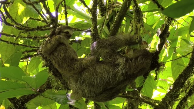 vídeos de stock e filmes b-roll de female sloth with its baby stretching and eating on a branch - lento