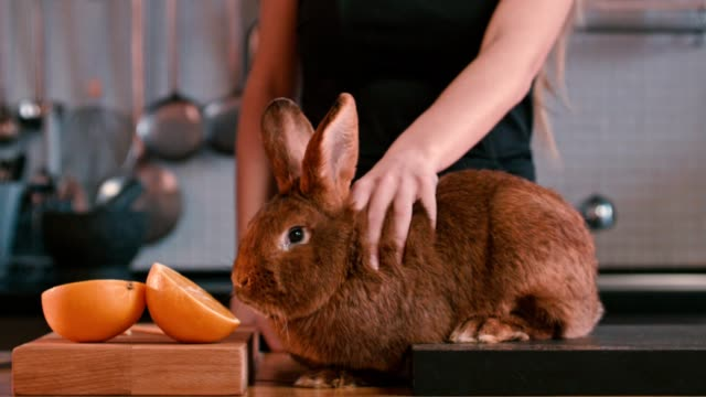 Female stroking rabbit on table. Brown rabbit sniffing orange fruit. Brown bunny video
