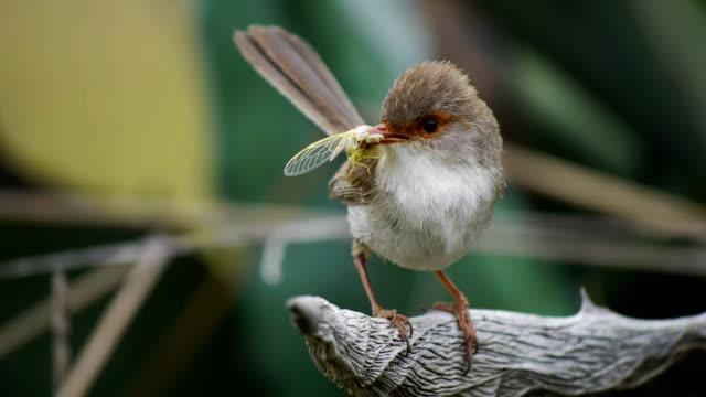 female suberb fairy wren video