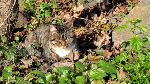 Female tabby cat sits in dry leaves and basks on the sun video