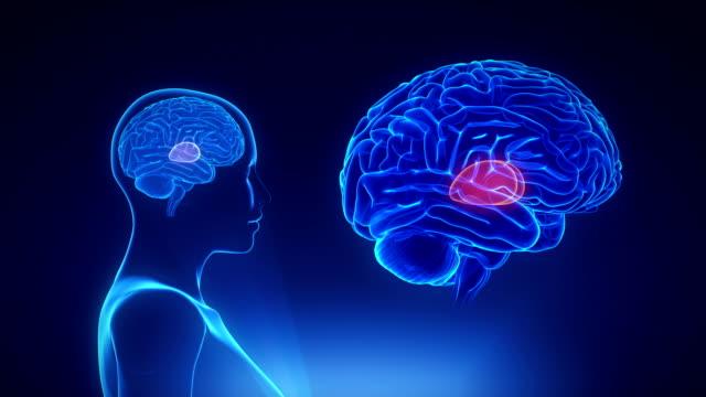 Female Thalamus in loop brain concept video