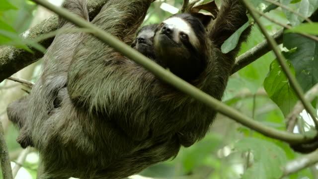 Female three-toed sloth climbs tree with baby 2