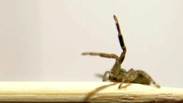 Female Trochosa terricola (Ground Wolf-spider) spider on a neutral white background video